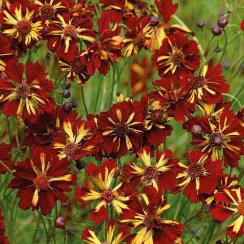 DYER'S TICKSEED (Coreopsis Tinctoria Roulette) 300 seeds