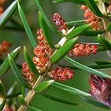 Asklepios-seeds® - 100 Semi di Juniperus communis, Ginepro comune