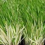 Outsidepride Cat Grass Variegated - 1000 Seeds
