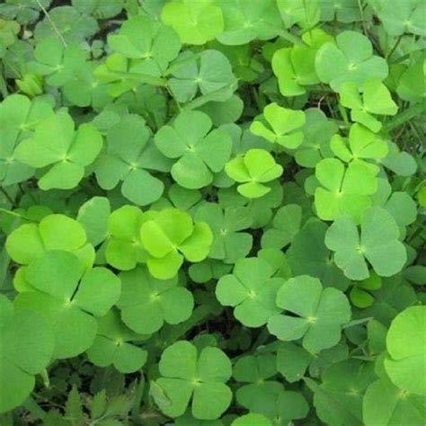 zumari 25 semillas de plantas de trébol de cuatro hojas