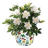 花のギフト社 ガーデニア くちなし 鉢植え 鉢花 花鉢 フラワーギフト 父の日 ギフト 5号鉢
