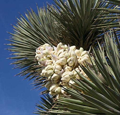 VISA STORE 50 Exotic Joshua Samen Samen! Yucca, baccata VAR. Pm, Kalter Hardy