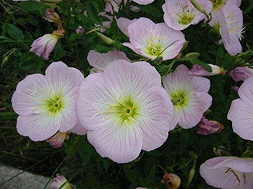 Blumensamen Rosa Nachtkerze (Oenothera...