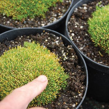 Plant World Seeds - Scleranthus Uniflorus Seeds