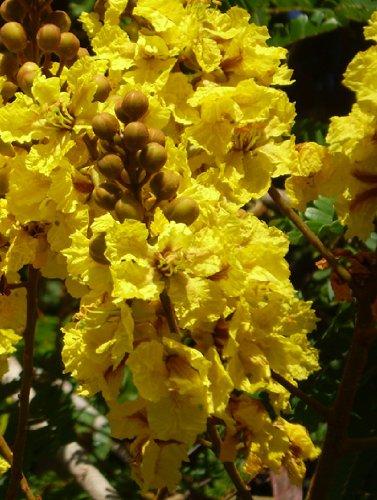 Seedeo Gelber Flammenbaum (Peltophorum pterocarpum) 20 Samen
