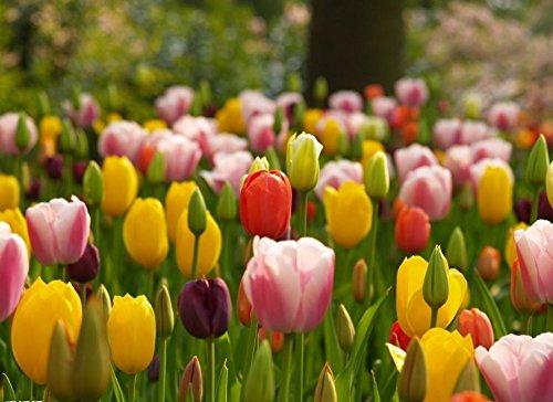 100 piezas / bolso Semillas Bonsai tulipán raras semillas amarillas de la borla de la flor del tulipán del borde de los pétalos Perenne Hogar y Jardín Plantas en maceta