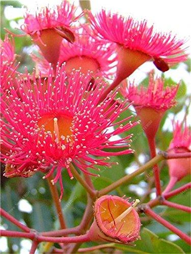 100 Pcs/Sac Rare Eucalyptus arc-en-floraison Graines, Graines Arbre tropical, Eucalyptus plantes pour jardin d'ornement Bonsai 10