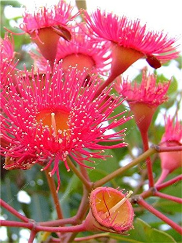 100 PC/Beutel seltene Regenbogen-Eukalyptus-Blüte Samen, Tropischer Baum Samen, Eukalyptus-Anlage für Hausgarten Zier Bonsai 10