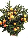 Korallenstrauch orange-rot - Topfpflanzen mit extravaganten Beeren