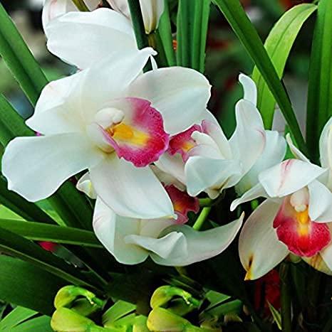 Aamish 70 piezas de semillas de flores de orquídeas blancas