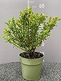 ILEX CRENATA │4 piante sempreverdi in vaso Ø 16 cm
