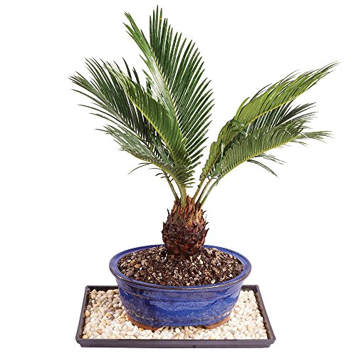 Brussel's Live Sago Palm Indoor Bonsai Tree - 8 Years Old; 8' to 12' Tall with Decorative Container, Humidity Tray & Deco Rock