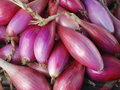 100 graines oignon graines, Long Red Florence, (oignon long jour) doux, saveur sucrée