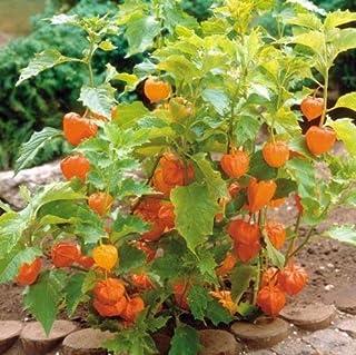 Linterna china fresca (Physalis Alkekengi) 50 semillas exóticas