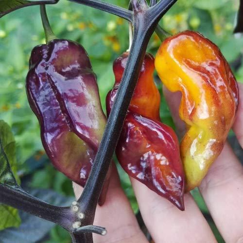 Pockmark Orange 12 x Samen aus Portugal 100% Natürlich ohne Chemische Anzuchthilfe oder Gentechnik