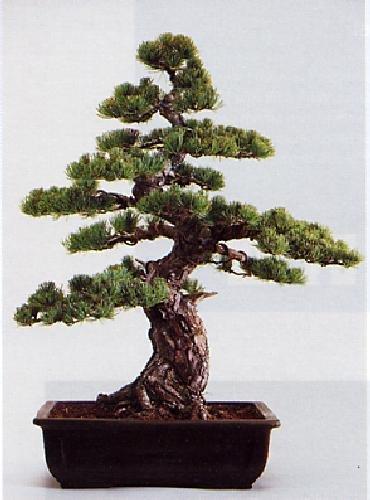Tropica - Bonsai - Mädchenkiefer (Pinus parviflora) - 12 Samen