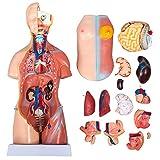 17インチ/45cmユニセックス胴体解剖学モデル胴体解剖学モデル人間の胴体23パーツボディスケルトン等身大医療解剖学教育教育ツール