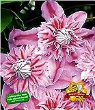 BALDUR Garten Waldrebe Clematis 'Josephine TM Evijohill N' Waldrebe, 1 Pflanze Klematis mehrjährige blühende Kletterpflanzen