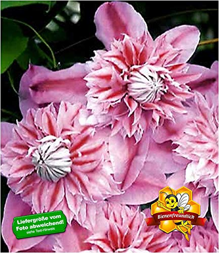 BALDUR-Garten Waldrebe Clematis 'Josephine TM Evijohill N' Waldrebe, 1 Pflanze Klematis mehrjährige blühende Kletterpflanzen
