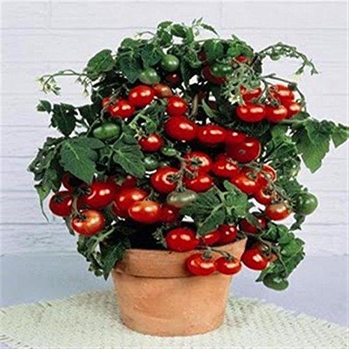 Maceta roja con 20 semillas orgánicas certificadas en francés y certificado