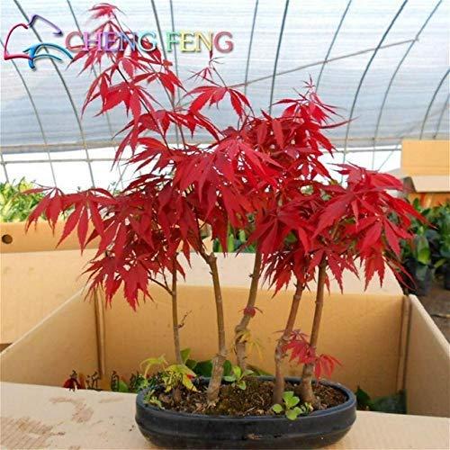 Bloom Green Co. 20 Semillas/paquete Semillas de arce rojo japonés Color del arco iris raro * Muy hermosas Plantas de Japón Semillas nuevas Jardín Reloj Bonsai Ãrbol Regalo: 6