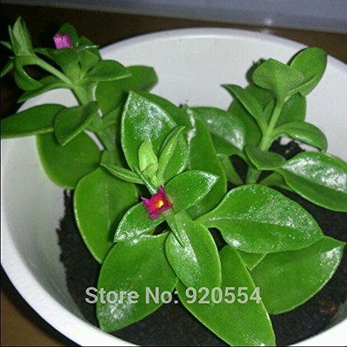 200pcs/lot ANDROGRAPHIS graines comestibles Andrographis plantes médicinales paniculata balcon graines de fleurs de légumes