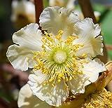 1 planta de Kiwi Actidia Chinens Testolin Planta Masculadora