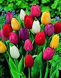 Tulip Bụlbs Mixed - Triumph Rainbow - 5-100 Big BulbsBulk - Perennial RareColor for Plạnting