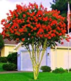 Large Dallas Red Tree Crape Myrtle, Matures 18ft+, Brightest Cherry Red Flower Clusters, Ships 2-4ft Tall, Well Rooted in Pot with Soil (1)