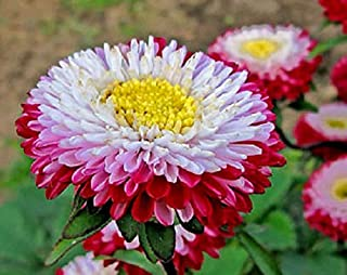 Seeds4planting - Seeds Aster Pompon Winter Cherry - Organic