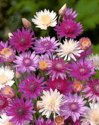Jährliche Trockenblume - 850 Samen