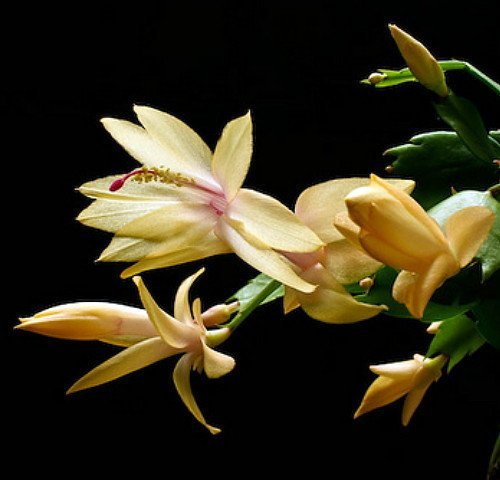 9GreenBox Yellow Christmas Cactus Plant - Zygocactus - 4' Pot