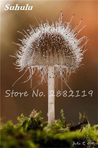 Nouveaux 80 Pcs champignons rares Graines Succulent Plant, Godsend cadeaux, Ornement Pot, jardin Fournitures de bonsaïs d'intérieur pour Happy Farm 12