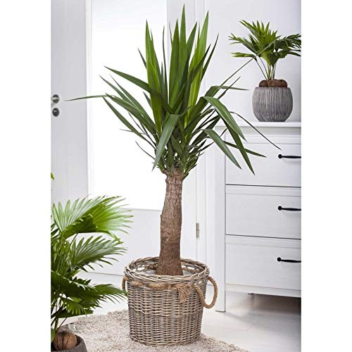 Pflanzen Kölle Palmlilie, Yucca elephantipes 'Maya Tree', Gesamthöhe ca. 100 cm