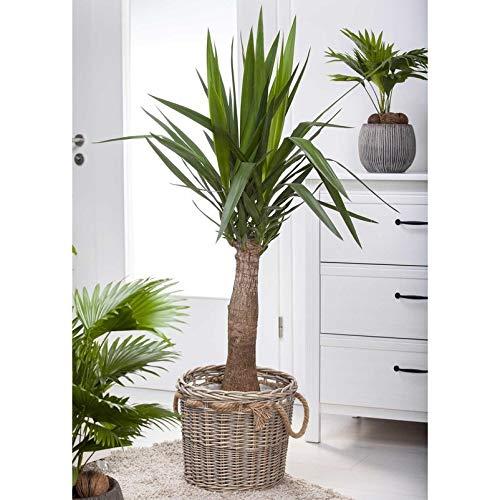 Pflanzen Kölle Yucca elephantipes 'Maya Tree', Höhe ca. 100 cm, Topf 24 cm