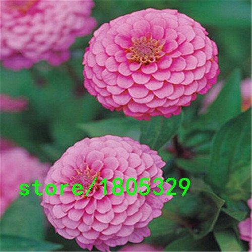 Vente Hot Pink Zinnia Seeds Balcon Cour de fleurs en pot Bonsai Zinnia Elegans Graines de fleurs des plantes Graines 100PCS