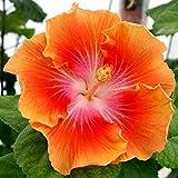 AGROBITS 10 Rare Jaune Orange Hibiscus Graines Plante vivace Fleur Jardin Exotique Graine