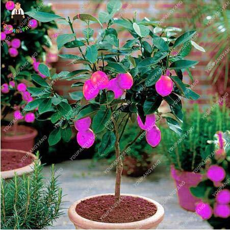 Shopvise Happy Farm Bio Goji Beeren 100 Stück, Ningxia Zhongning Obst Bocksdorn, Lycium Barbabarum Berry Goji