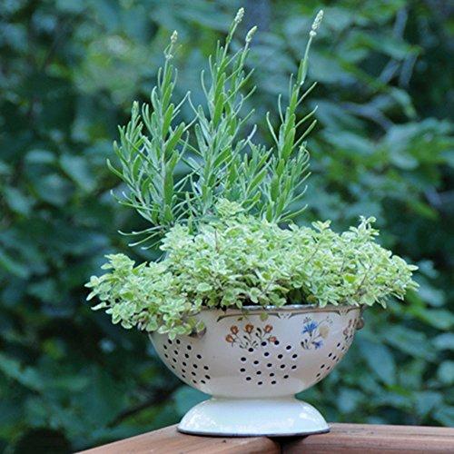 Bonnie植物薰衣草活可食用的芳香草本植物 -  4包,12  -  14英寸高植物,烘焙,茶,糖,果冻