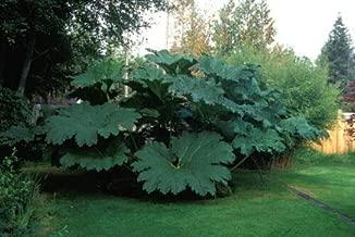 Rhubarb untreated 2.5g approx 250 seeds Glaskins Perpetual