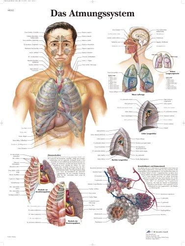 3B Scientific Lehrtafel laminiert - Das Atmungssystem