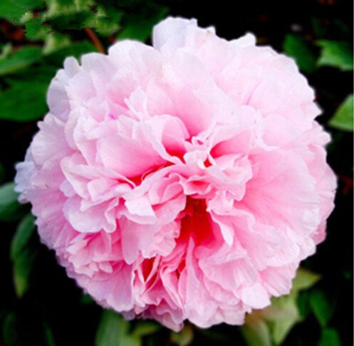 10pcs/sac de graines de pivoine, jaune, graines de fleurs de pivoine rose chinoise belles graines de bonsaï plantes en pot pour le jardin de la maison 4