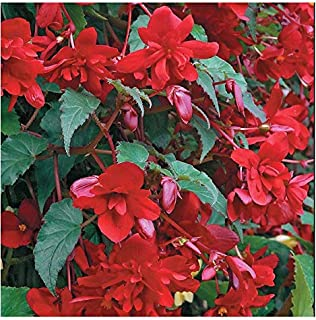 Seeds Flowers Begonia tuberhybrida pendula Multiflora fl. Pl. Chanson Red f1 from Ukraine 10 Seeds