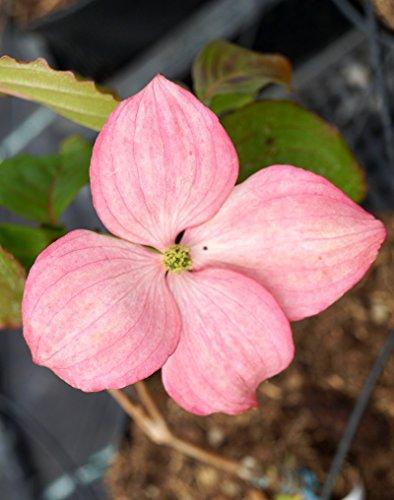 Japanischer Blumen-Hartriegel Satomi Cornus kousa chinensis Satomi Containerware 60-100 cm