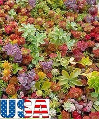 GETSO Samen-Paket Nicht Pflanzen: 400 Samen: USA Sedum Mix 100-400 Samen (Dürre, Steingarten, Behälter, Trockenraum)