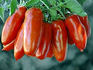 30+ ORGANICALLY GROWN Italian San Marzano Paste Tomato Seeds, Heirloom NON-GMO, Indeterminate, Open-Pollinated, Productive, Delicious, From USA