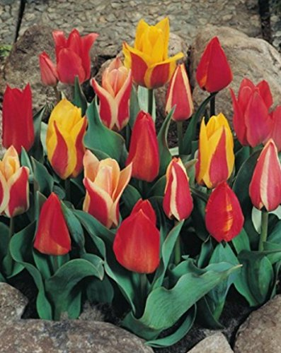 Botanische Tulpen gemischt Tulpenzwiebeln (50 Blumenzwiebeln)