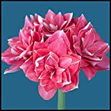 Bulbos Amarilis,Vistoso,Exquisitas Flores Cortadas,Mundialmente Famoso,Un Complemento Necesario En El JardíN-2 Bulbos