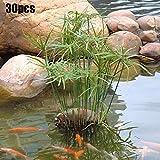 quanju cheer 30 Stück Wasser Bambussamen Cyperus Alternifolius Samen Semi-aquatische Wasserpflanze...