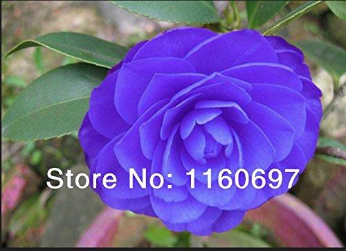 Accueil & amp; jardin 30pcs / sac rares graines de fleurs de camélia graines sementes de flores Hydrangea cas e jardim bonsaïs graines Semillas de plantas Seeds